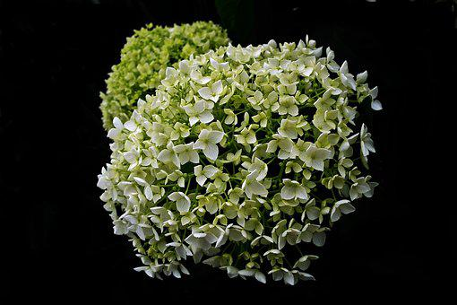 Flower, Hydrangea, Nature, A Flower Garden