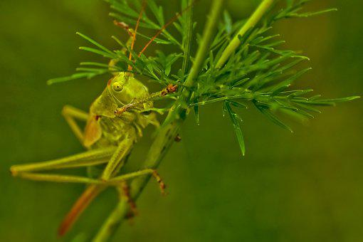 Animal, Grasshopper, Insect, Nature, Migratory Locust