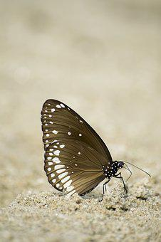 Common Crow Butterfly, Butterfly, Lepidoptera, Insect