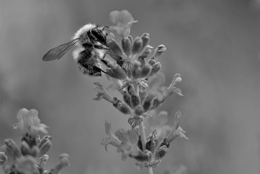 Bee, Lavender, Black And White, Close, Insect, Nature