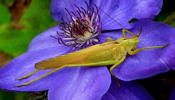 Insect, Grasshopper, Macro, Nature, Flower, The Petals