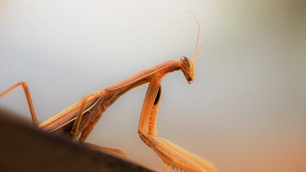 Praying Mantis, Nature Experience, Macro