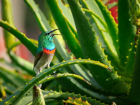 Southern Double-collared Sunbird, Male, Bird