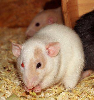 Rat, Female, Different Colored Eyes, White, Nager, Cute