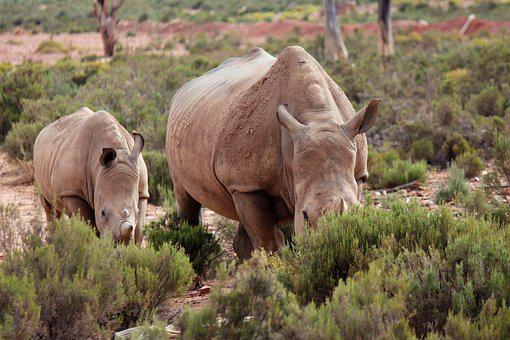 Rhino, Safari, Baby Rhinoceros, National Park