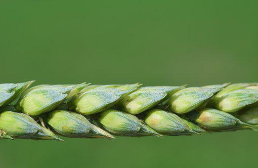Wheat, Cereals, Grain, Close, Ear, Nature, Plant