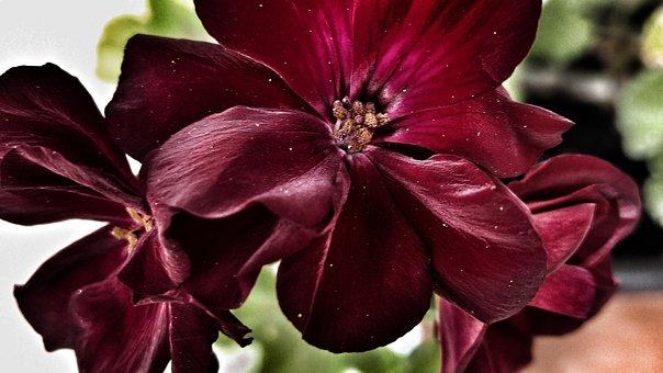 Flower, Red, Petals, Garden, Nature