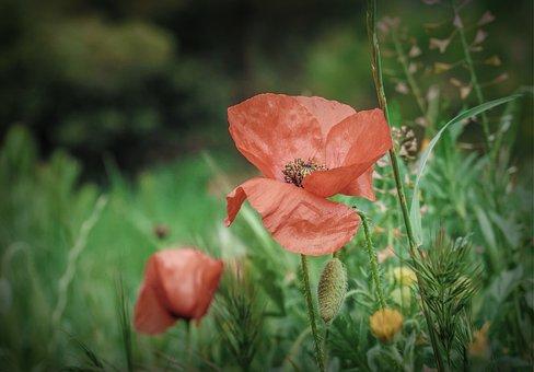 Flowers, Nature, Poppy, Red, Plants, Garden