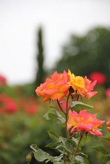 Rose, Rose Garden, Flower, Nature, Pink, Orange, Yellow