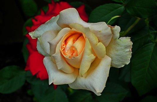 Flower, Rose, Tea, Rose Petals, Nature, Macro