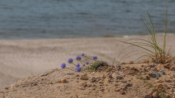 Flower, Plant, Beach, Dunes, Sylt, Island, North Sea