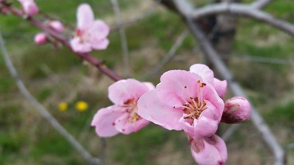 Peach Flower, Blossom, Bloom, Blooming, Nature, Peach