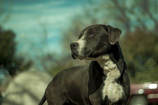 Dog, Rottweiler, Pitbull, Mix, Breed, Purebred, Pet