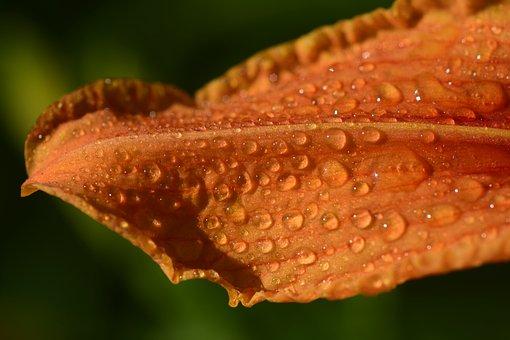 Lily Leaf, Moist, Wet, Petal, Drip, Dewdrop, Beautiful