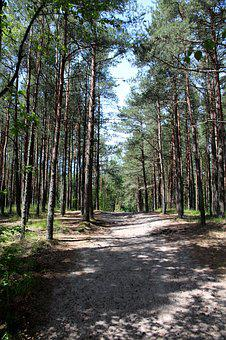 Forest, Coniferous Forest, Pine Forest, Pine, Nature