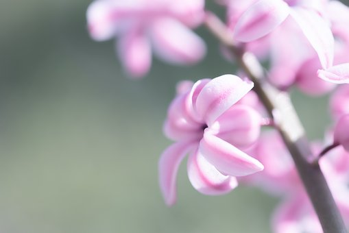 Hyacinth, Flower, Pink, Pink Hyacinth, Pink Flower