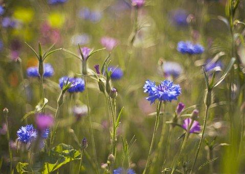 Meadow, Plants, Cornflower, The Background, Flowers