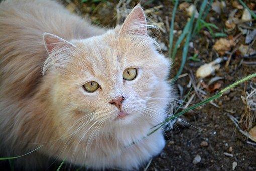 Cat, Pet, Kitten, Portrait, Feline, Adorable, Fur, Eyes