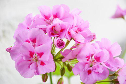 Geranium, Precious Geranium Two-tone, Pink