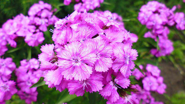 Flower, Nature, Purple Flowers, The Beauty Of Nature