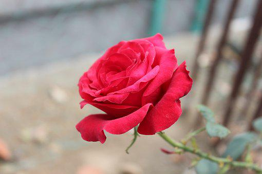 Rose, Red Rose, Flora, Flower, Red Roses, Love, Red