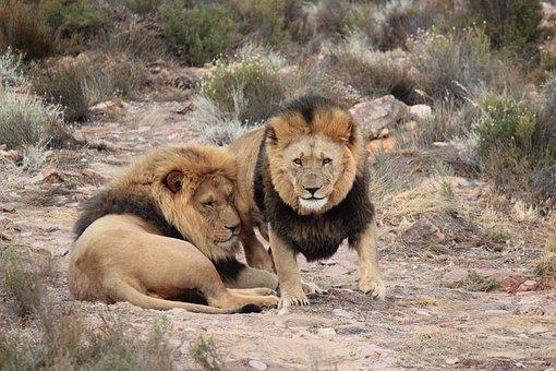 Lion, Lions, Safari, Baby Rhinoceros, National Park