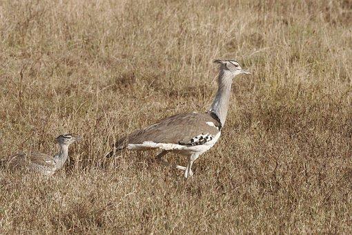 Secretary Bird, Safari, Kenya, Serengeti, Tanzania