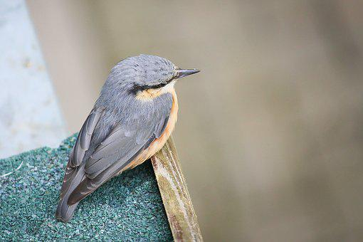 Kleiber, Sitta Europaea, Woodpecker Great Tit, Bird