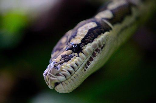 Snake, Macro, Reptilian, Herpetology, Nonvenomous