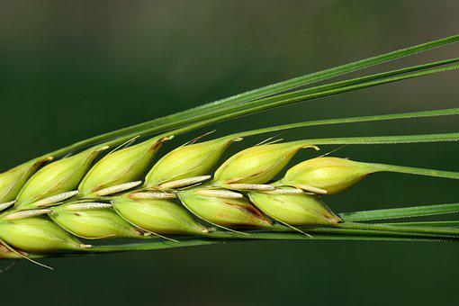 Barley, Close, Cereals, Ear, Grain, Agriculture, Summer