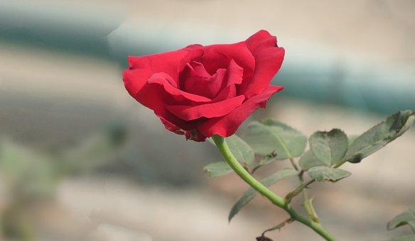 Rose, Flower, Floral, Plant, Summer, Nature, Love