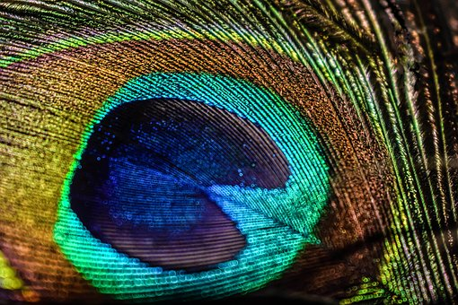 Peacock, Bird, Feathers, Pheasant, Animal, Texture