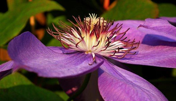 Flower, Clematis, Macro, Nature, The Petals