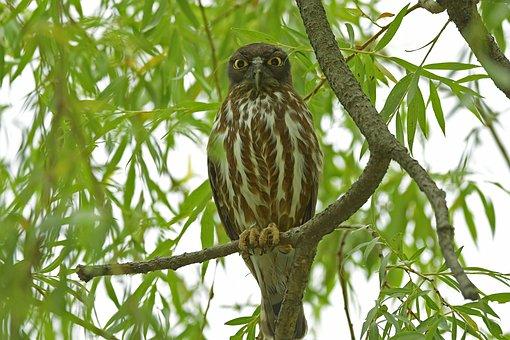 Sol Passion, Owl, The Raptors, Birds, Nocturnal