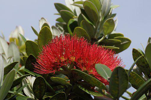 Pohutukawa, New Zealand, Native, Tree, Flower