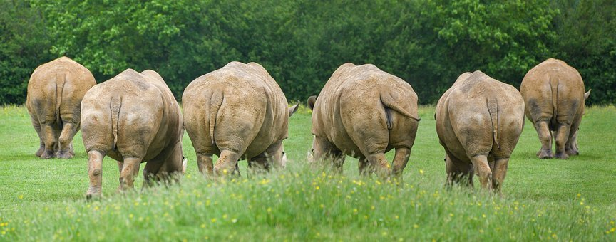 Rhinoceros, Animal, Big, Grass, Tail, Walk, Herbivore