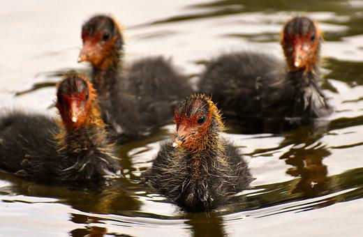 Coots, Chicks, Leader, Group, Together, Waters, Nature