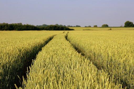 Field, Wheat, Corn, Landscape, Spring, Ripening Grain