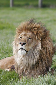 Lion, Africa, Animal, Wild, Wildlife, Cat, Predator