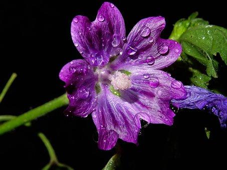 Mallow, Wild Mallow, Purple, Drip, Wild Flower, Nature