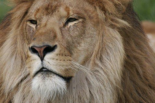 Lion, Face, Regal, King, Head, Predator, Wildlife, Wild