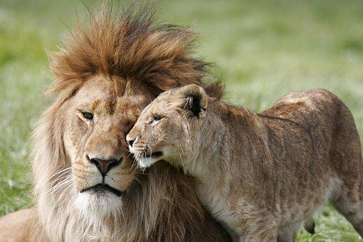 Lion, Lioness, Couple, Love, Nature, African, Wildlife