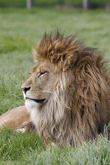 Lion, Mane, Predator, Wild, King, Wildlife, Head