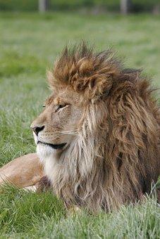 Lion, Mane, Predator, Wild, King, Wildlife, Head