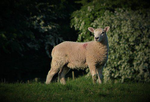 Lamb, Ewe, Ram, Woolly, Wool, Fleece, Animal, Farm