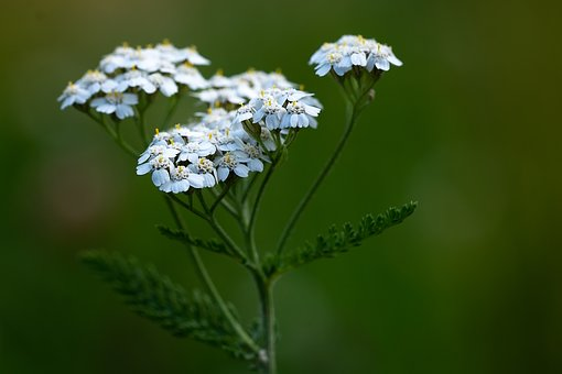 Yarrow, Plant, Blossom, Bloom, White, White Blossom