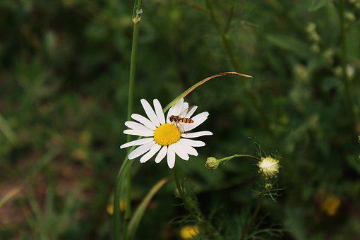 Daisy, The Flower Of The Field, A Flower Of The Field
