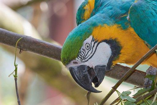 Parrot, Aara, Colorful, Bill, Branch, Long Beak
