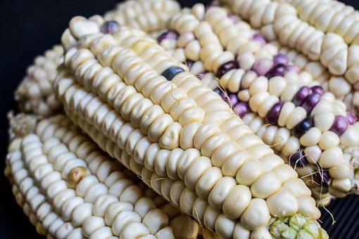 Corn, Cob, Agriculture, Gastronomy, Harvest
