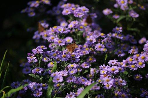 Plants, Flowers, Michaelmas Daisy, Aster Koraiensis